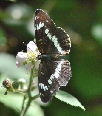 white admiral.1716 pamber forest