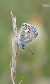 common blue.1709 aston rowant
