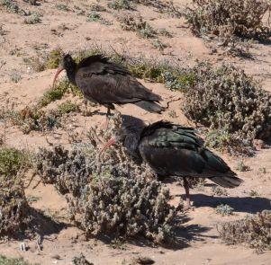 bald ibis.1914 tamri