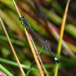 Blue-tailed Damselfy (male)